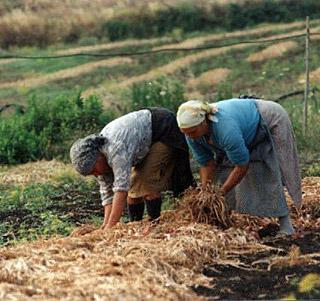 coltivazione di cipolle a tropea