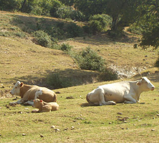 mucche al pascolo